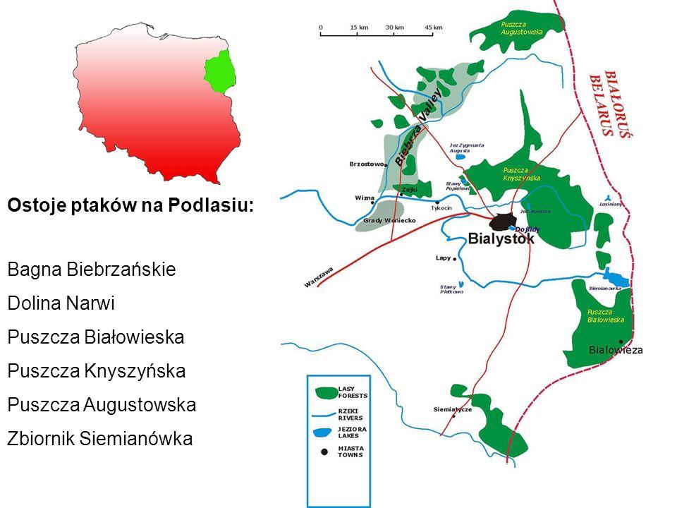 Ostoje ptaków na Podlasiu: Bagna Biebrzańskie Dolina Narwi Puszcza Białowieska Puszcza Knyszyńska Puszcza Augustowska Zbiornik Siemianówka