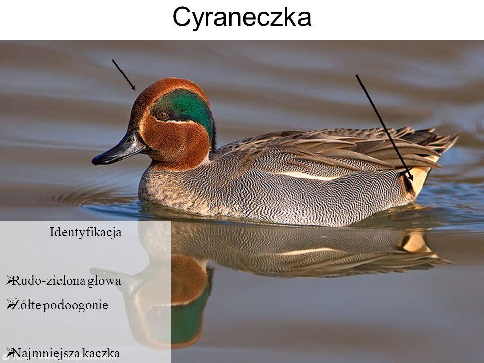 Identyfikacja Rudo-zielona głowa Żółte podoogonie Najmniejsza kaczka
