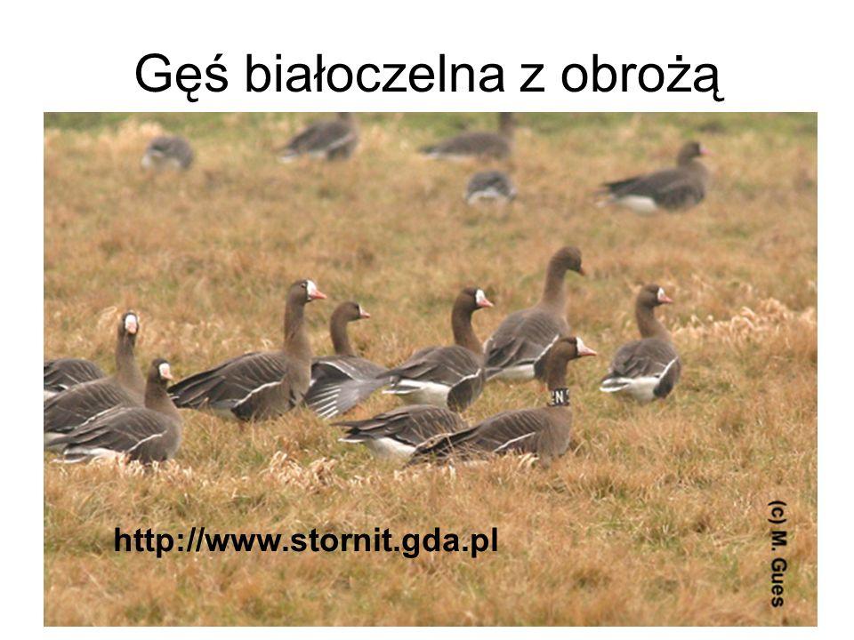 Gęś białoczelna z obrożą http://www.stornit.gda.pl
