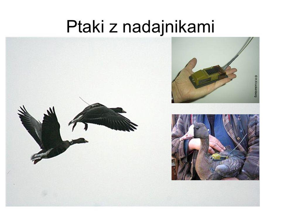 Ptaki z nadajnikami