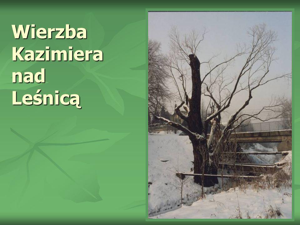 Wierzba Kazimiera nad Leśnicą