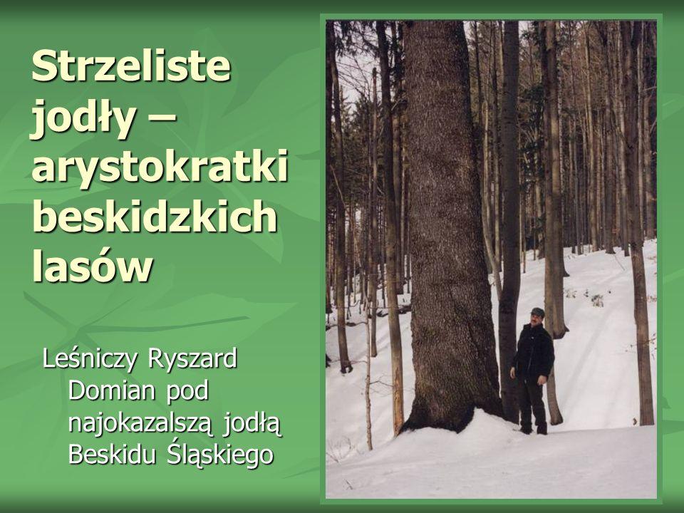 Strzeliste jodły – arystokratki beskidzkich lasów Leśniczy Ryszard Domian pod najokazalszą jodłą Beskidu Śląskiego