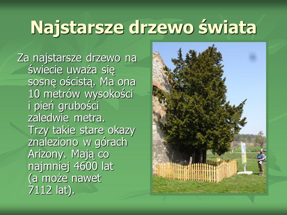 Najstarsze drzewo świata Za najstarsze drzewo na świecie uważa się sosnę ościstą.