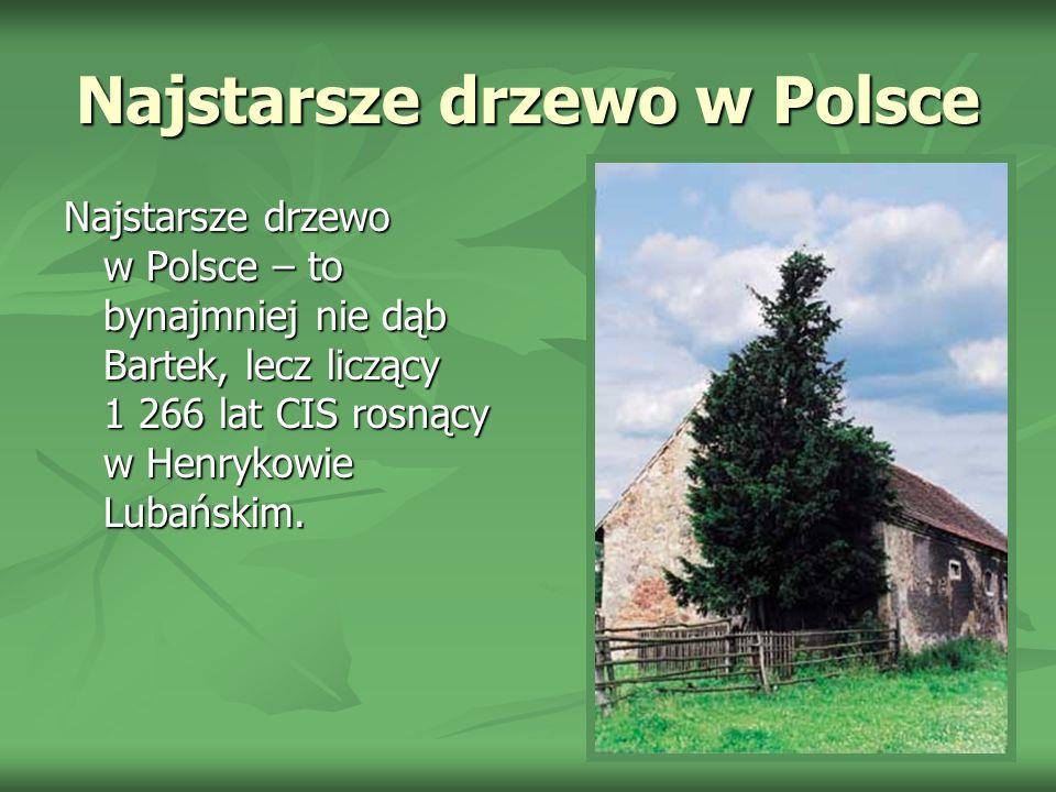 Najstarsze drzewo w Polsce Najstarsze drzewo w Polsce – to bynajmniej nie dąb Bartek, lecz liczący 1 266 lat CIS rosnący w Henrykowie Lubańskim.