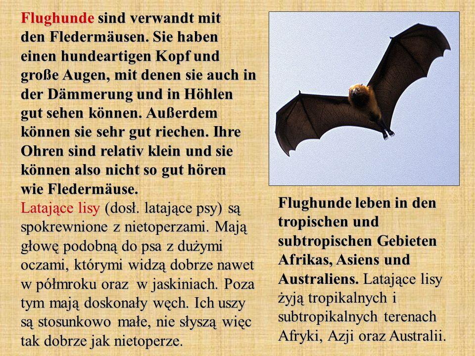 Flughunde sind verwandt mit den Fledermäusen. Sie haben einen hundeartigen Kopf und große Augen, mit denen sie auch in der Dämmerung und in Höhlen gut