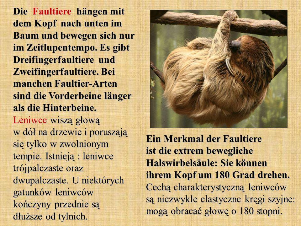 Die Faultiere hängen mit dem Kopf nach unten im Baum und bewegen sich nur im Zeitlupentempo. Es gibt Dreifingerfaultiere und Zweifingerfaultiere. Bei