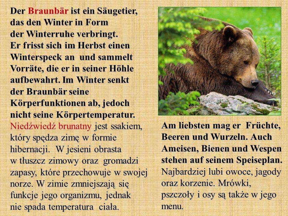 Der Braunbär ist ein Säugetier, das den Winter in Form der Winterruhe verbringt. Er frisst sich im Herbst einen Winterspeck an und sammelt Vorräte, di