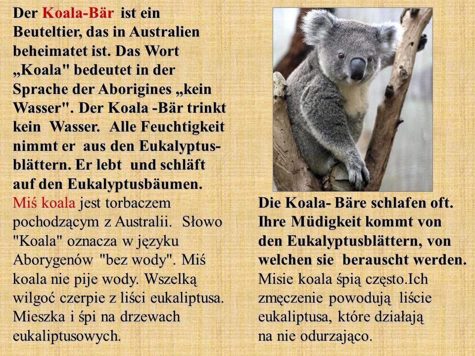 Der Koala-Bär ist ein Beuteltier, das in Australien beheimatet ist. Das Wort Koala