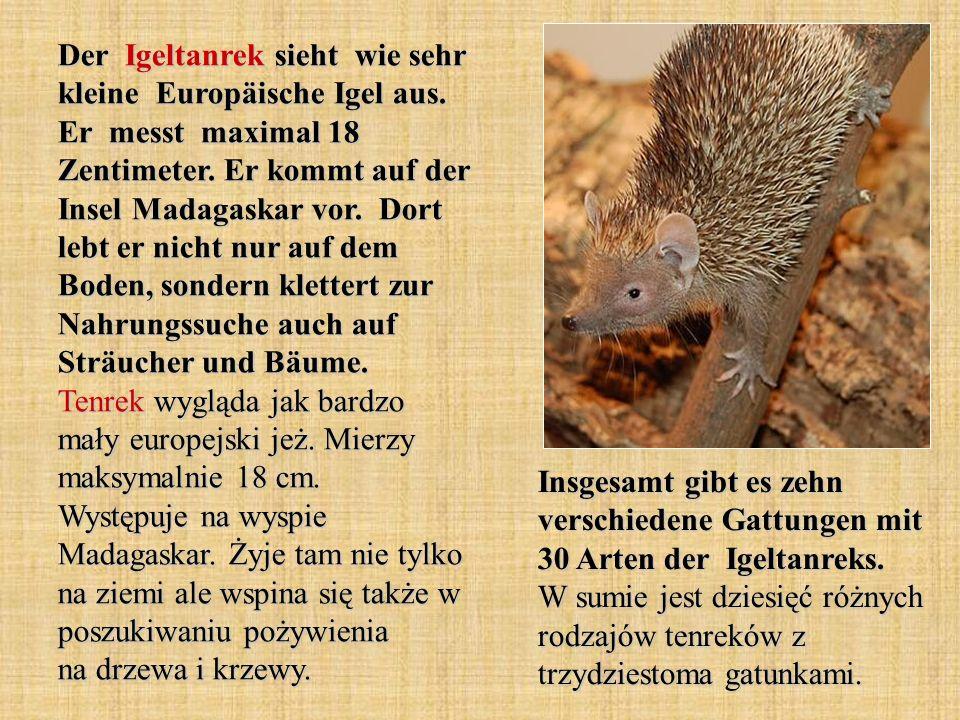 Der Igeltanrek sieht wie sehr kleine Europäische Igel aus. Er messt maximal 18 Zentimeter. Er kommt auf der Insel Madagaskar vor. Dort lebt er nicht n