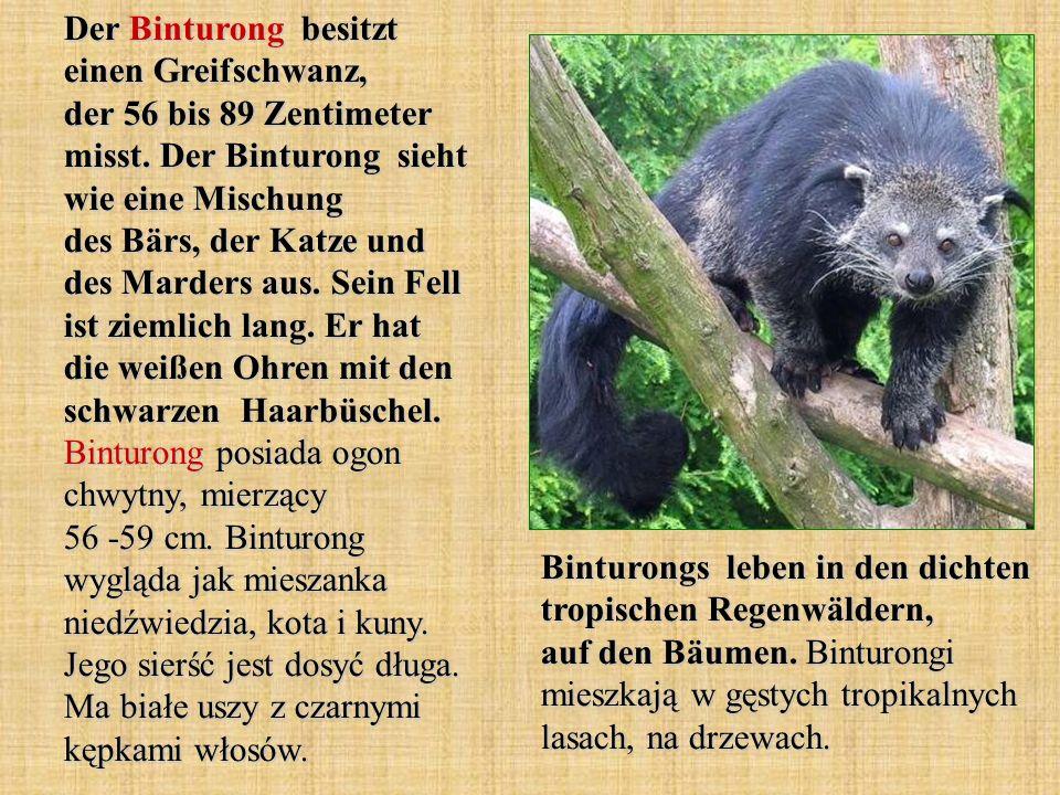Der Binturong besitzt einen Greifschwanz, der 56 bis 89 Zentimeter misst. Der Binturong sieht wie eine Mischung des Bärs, der Katze und des Marders au