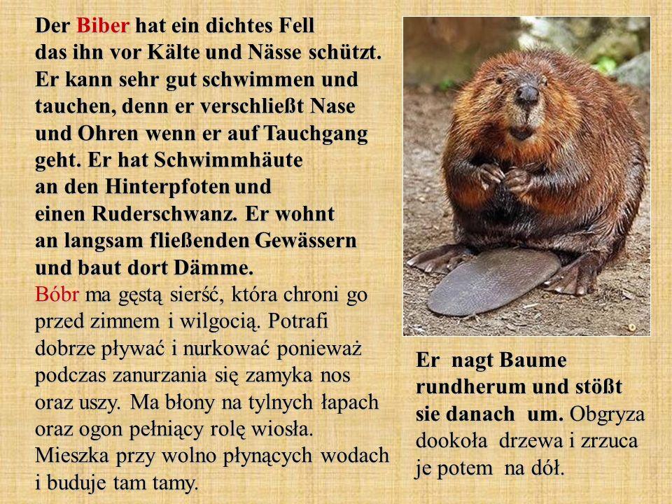 Der Braunbär ist ein Säugetier, das den Winter in Form der Winterruhe verbringt.