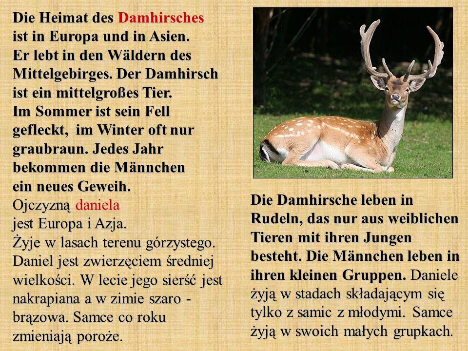 Die Heimat des Damhirsches ist in Europa und in Asien. Er lebt in den Wäldern des Mittelgebirges. Der Damhirsch ist ein mittelgroßes Tier. Im Sommer i
