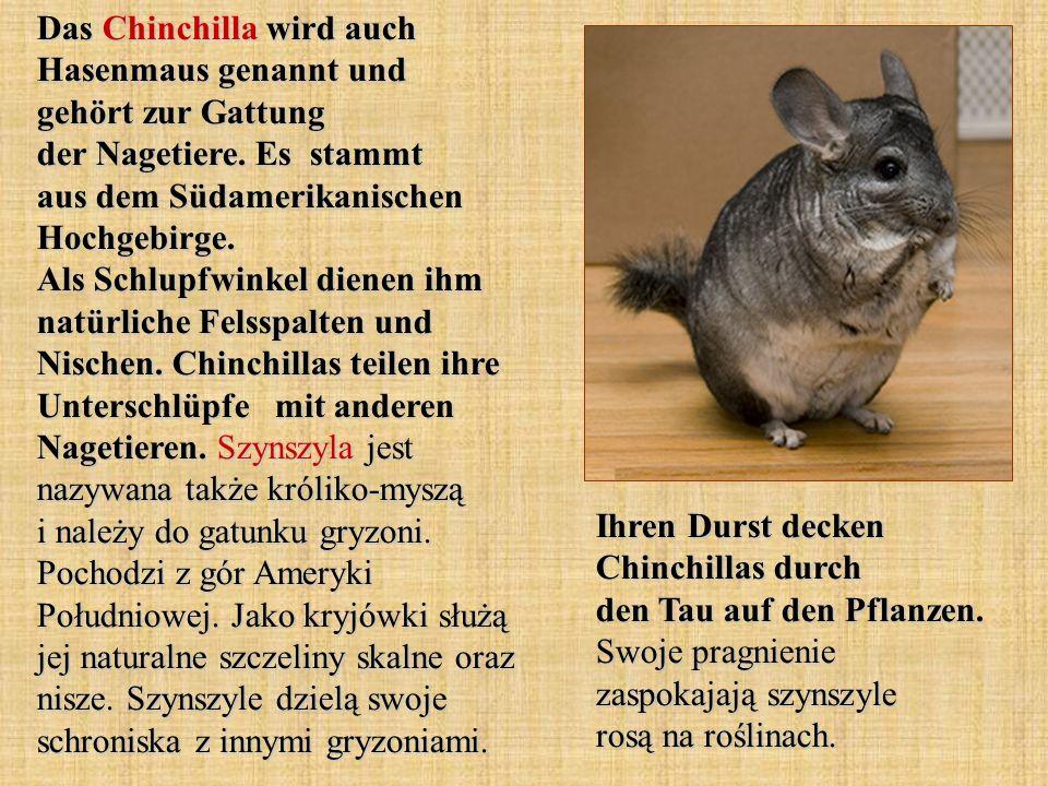 Das Chinchilla wird auch Hasenmaus genannt und gehört zur Gattung der Nagetiere. Es stammt aus dem Südamerikanischen Hochgebirge. Als Schlupfwinkel di