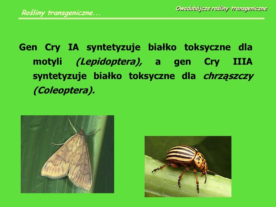 Gen Cry IA syntetyzuje białko toksyczne dla motyli (Lepidoptera), a gen Cry IIIA syntetyzuje białko toksyczne dla chrząszczy (Coleoptera).