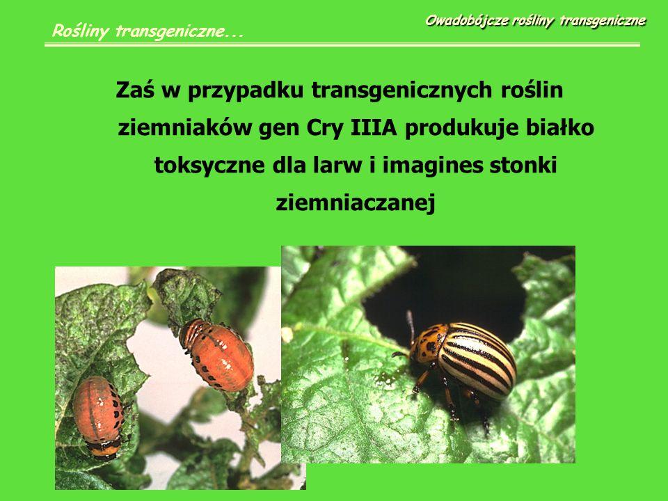 Zaś w przypadku transgenicznych roślin ziemniaków gen Cry IIIA produkuje białko toksyczne dla larw i imagines stonki ziemniaczanej Owadobójcze rośliny transgeniczne Rośliny transgeniczne...