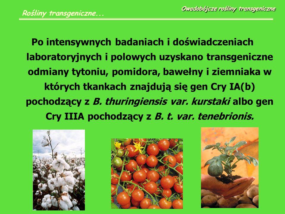 Po intensywnych badaniach i doświadczeniach laboratoryjnych i polowych uzyskano transgeniczne odmiany tytoniu, pomidora, bawełny i ziemniaka w których tkankach znajdują się gen Cry IA(b) pochodzący z B.