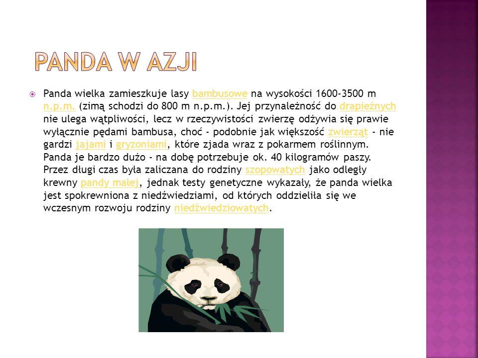 Panda wielka zamieszkuje lasy bambusowe na wysokości 1600-3500 m n.p.m.