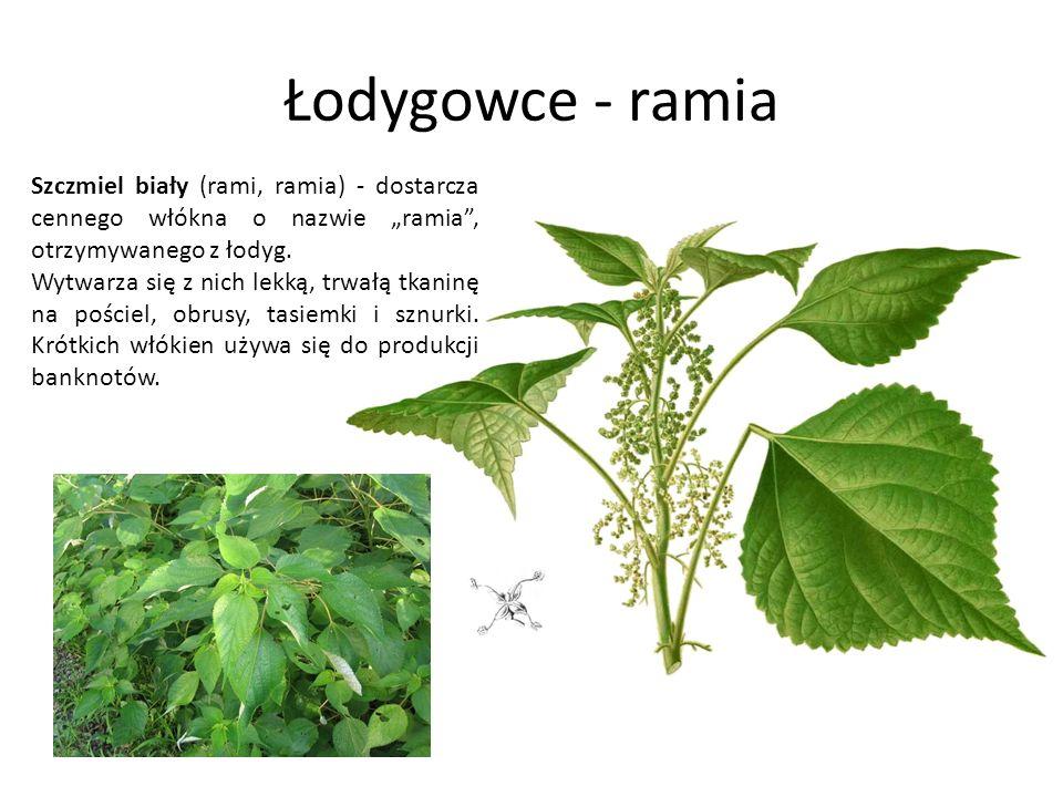 Łodygowce - ramia Szczmiel biały (rami, ramia) - dostarcza cennego włókna o nazwie ramia, otrzymywanego z łodyg. Wytwarza się z nich lekką, trwałą tka