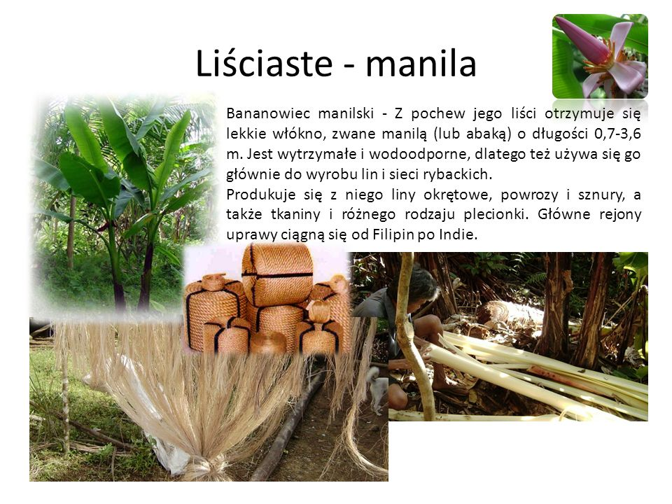 Liściaste - manila Bananowiec manilski - Z pochew jego liści otrzymuje się lekkie włókno, zwane manilą (lub abaką) o długości 0,7-3,6 m. Jest wytrzyma