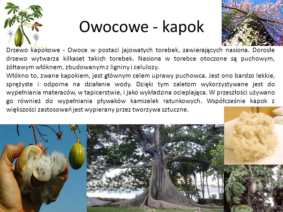 Owocowe - kapok Drzewo kapokowe - Owoce w postaci jajowatych torebek, zawierających nasiona. Dorosłe drzewo wytwarza kilkaset takich torebek. Nasiona
