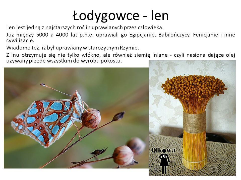 Łodygowce - len Len jest jedną z najstarszych roślin uprawianych przez człowieka. Już między 5000 a 4000 lat p.n.e. uprawiali go Egipcjanie, Babilończ