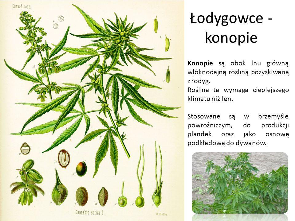 Łodygowce - konopie Konopie są obok lnu główną włóknodajną rośliną pozyskiwaną z łodyg. Roślina ta wymaga cieplejszego klimatu niż len. Stosowane są w