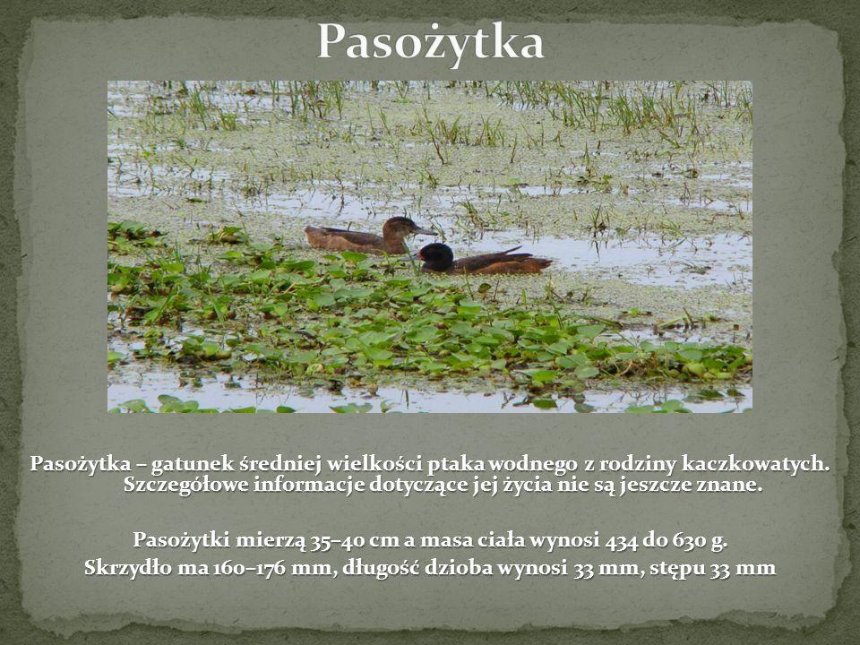 Pasożytka – gatunek średniej wielkości ptaka wodnego z rodziny kaczkowatych. Szczegółowe informacje dotyczące jej życia nie są jeszcze znane. Pasożytk
