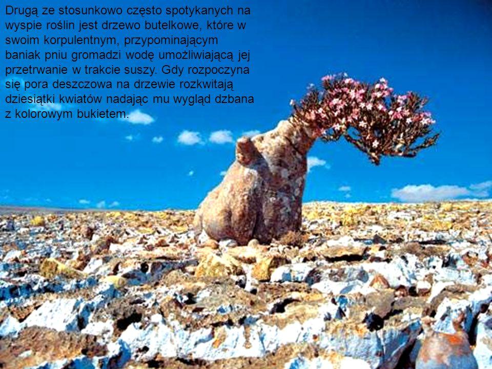 Drugą ze stosunkowo często spotykanych na wyspie roślin jest drzewo butelkowe, które w swoim korpulentnym, przypominającym baniak pniu gromadzi wodę umożliwiającą jej przetrwanie w trakcie suszy.