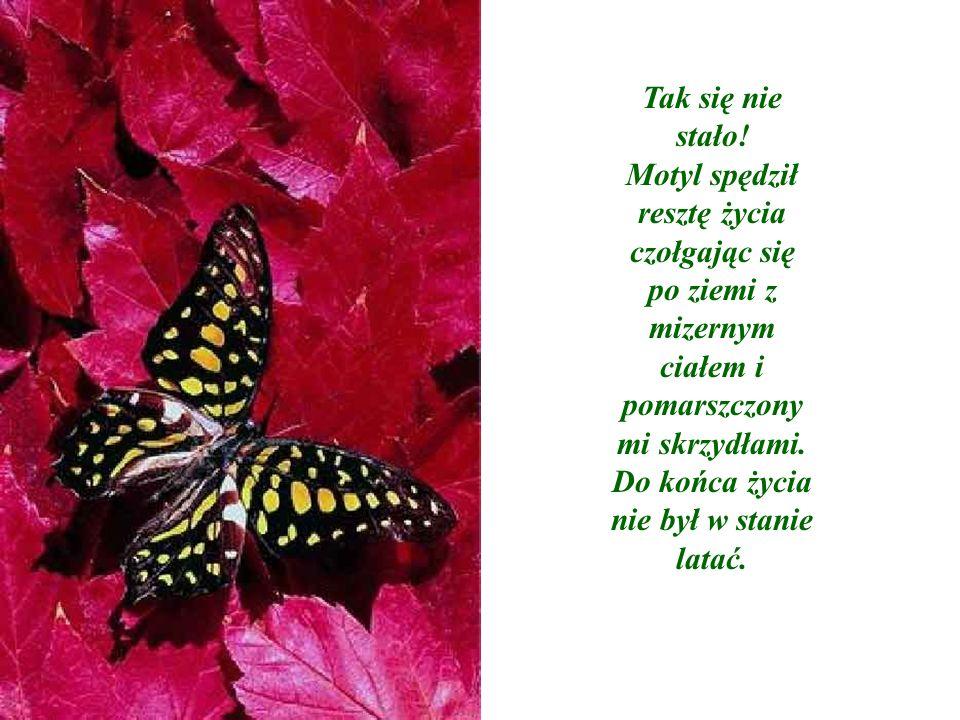 Tak się nie stało! Motyl spędził resztę życia czołgając się po ziemi z mizernym ciałem i pomarszczony mi skrzydłami. Do końca życia nie był w stanie l