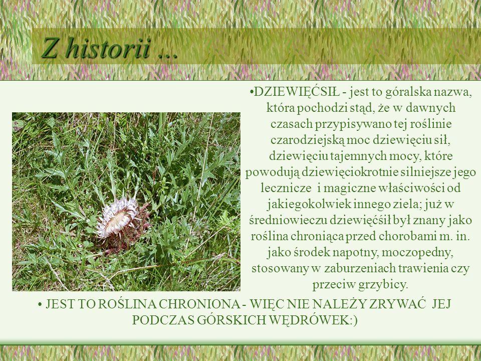 Z historii... DZIEWIĘĆSIŁ - jest to góralska nazwa, która pochodzi stąd, że w dawnych czasach przypisywano tej roślinie czarodziejską moc dziewięciu s
