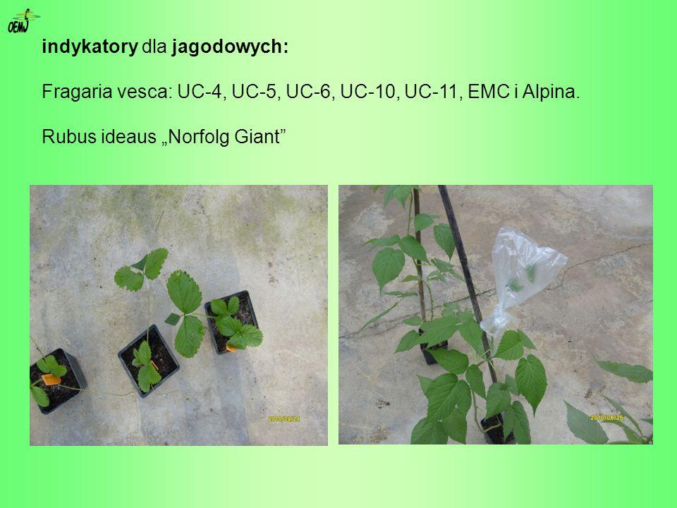 indykatory dla jagodowych: Fragaria vesca: UC-4, UC-5, UC-6, UC-10, UC-11, EMC i Alpina. Rubus ideaus Norfolg Giant