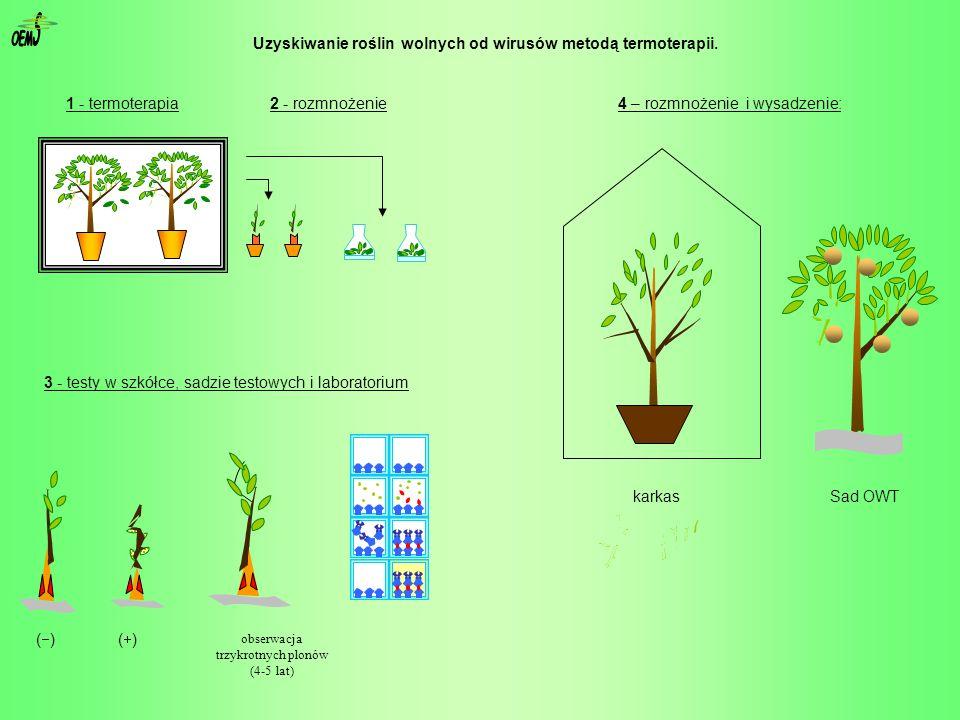 Uzyskiwanie roślin wolnych od wirusów metodą termoterapii. obserwacja trzykrotnych plonów (4-5 lat) ( ) 1 - termoterapia 3 - testy w szkółce, sadzie t