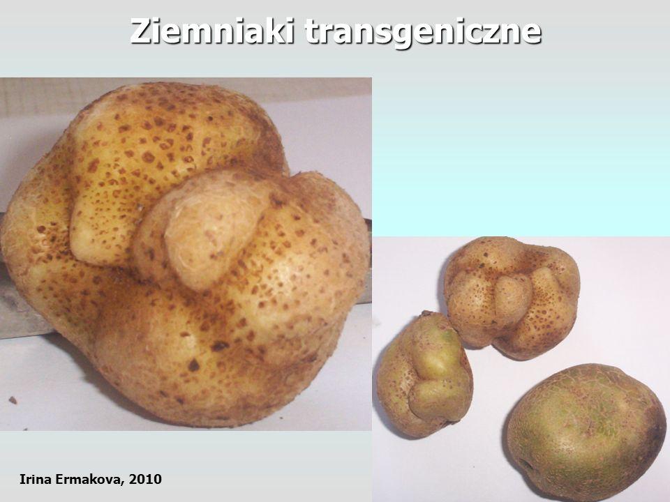 Ziemniaki transgeniczne Irina Ermakova, 2010