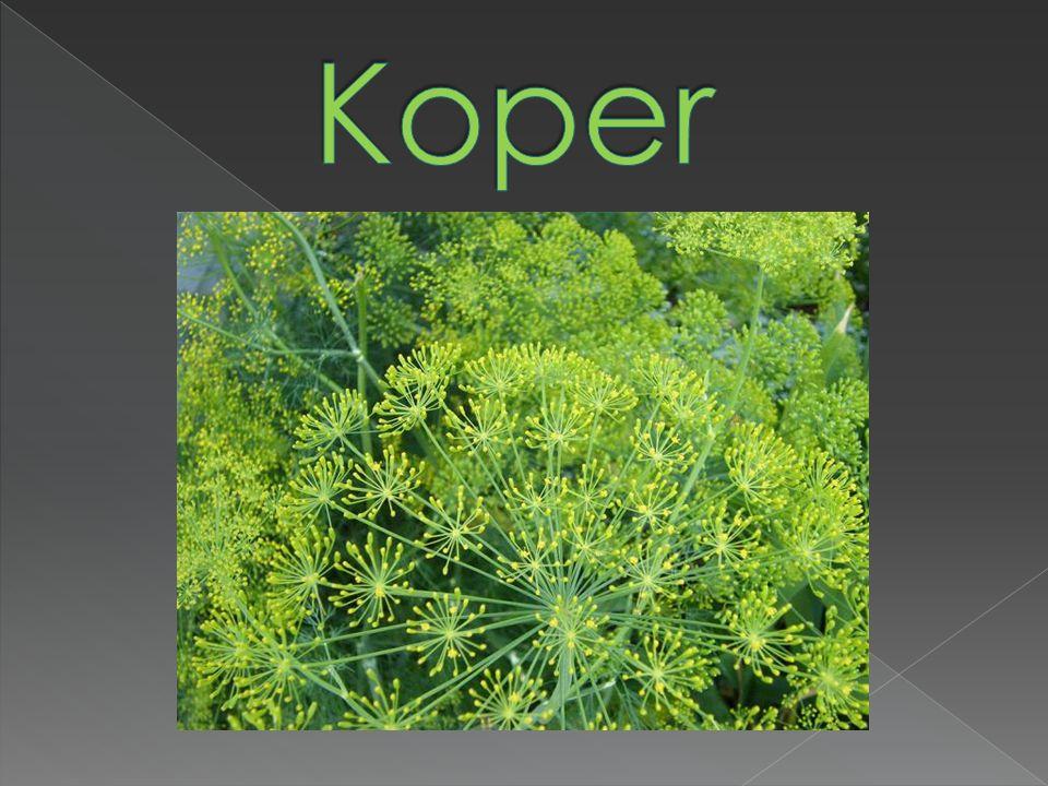 Koper - jednoroczne, aromatyczne zioło osiągające wysokość do 75cm.