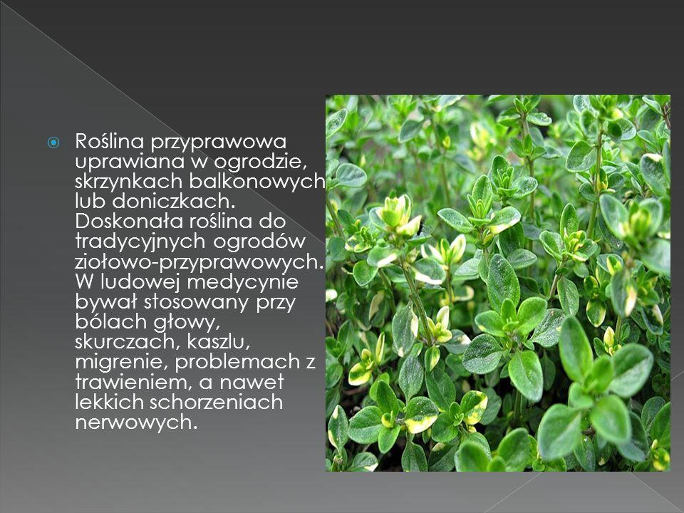 Roślina przyprawowa uprawiana w ogrodzie, skrzynkach balkonowych lub doniczkach. Doskonała roślina do tradycyjnych ogrodów ziołowo-przyprawowych. W lu
