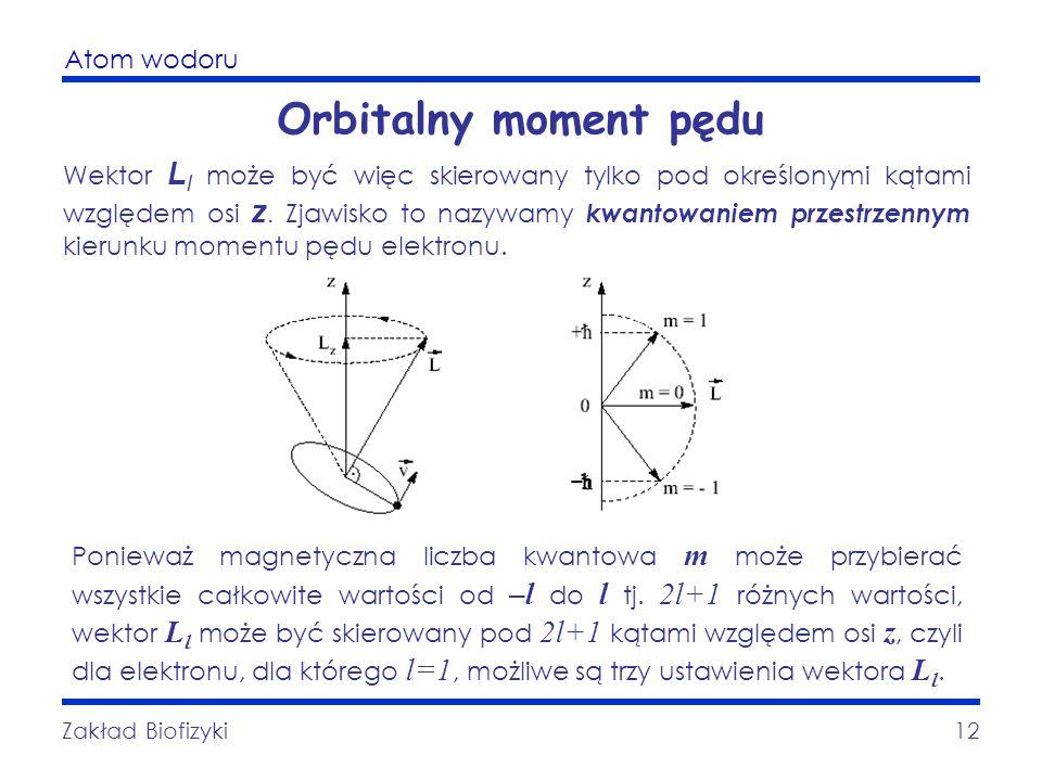 Atom wodoru Zakład Biofizyki12 Orbitalny moment pędu Wektor L l może być więc skierowany tylko pod określonymi kątami względem osi z. Zjawisko to nazy