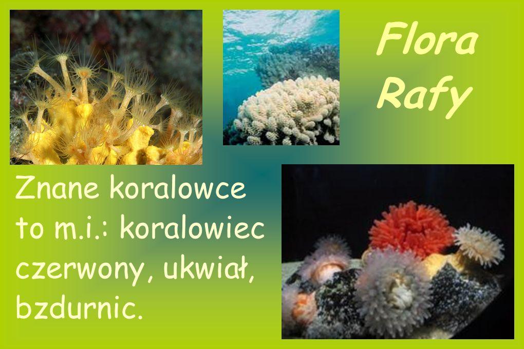 Flora Rafy Rafa zazwyczaj ma kolor biały, dzięki obumarłym szczątkom politów. W skład fauny rafy wchodzą również koralowce. Jest ich bardzo dużo i maj