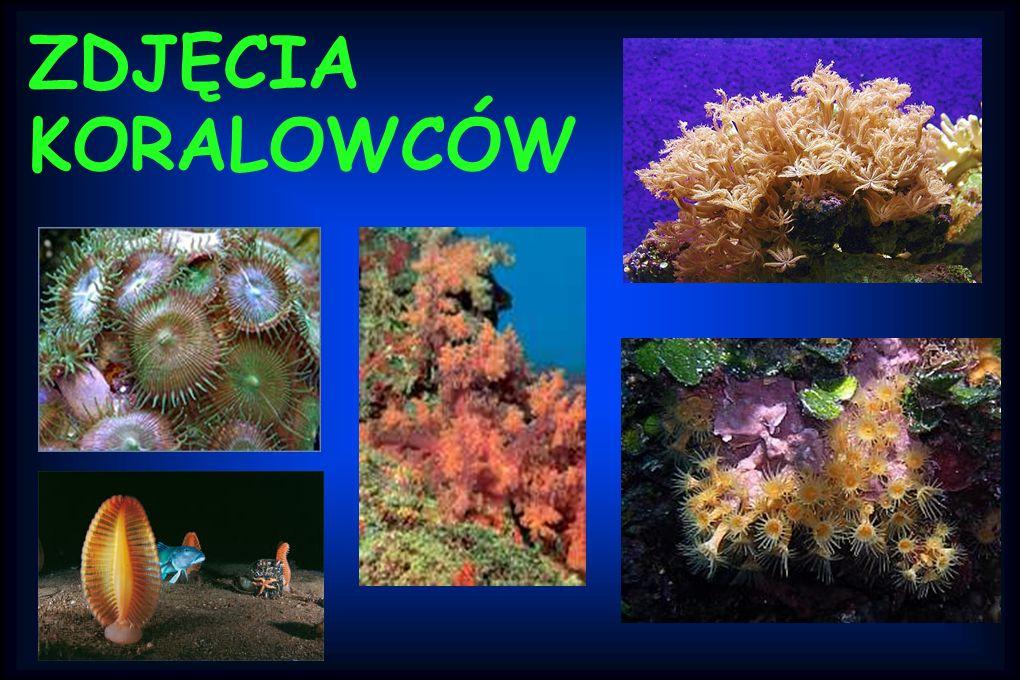 Znane koralowce to m.i.: koralowiec czerwony, ukwiał, bzdurnic. Flora Rafy