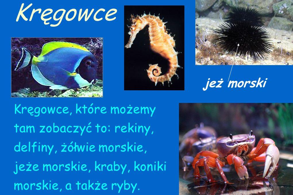 Bezkręgowce występujące na rafie koralowej to: rozgwiazdy, meduzy, ośmiornice, gąbki, robaki, muszle, ślimaki i wiele innych ciekawych stworzeń. Bezkr