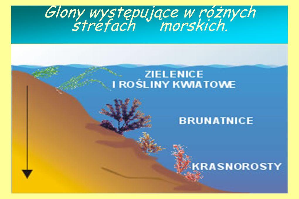 G L O N Y To najwa ż niejsza fotosyntetyzuj ą ca grupa organizmów na Ziemi. Zalicza się do nich m.i.: zielenice, brunatnice, krasnorosty. Ich znaczeni