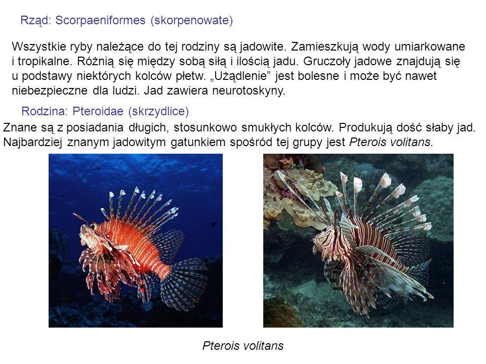 Rząd: Scorpaeniformes (skorpenowate) Wszystkie ryby należące do tej rodziny są jadowite. Zamieszkują wody umiarkowane i tropikalne. Różnią się między