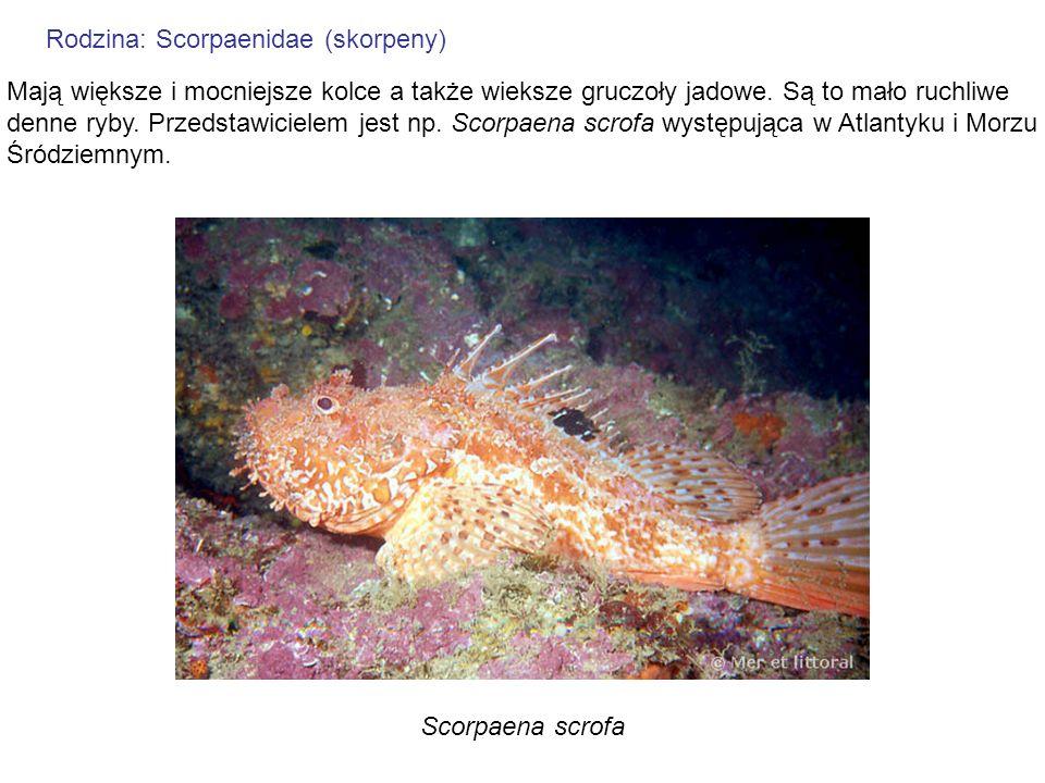 Rodzina: Scorpaenidae (skorpeny) Mają większe i mocniejsze kolce a także wieksze gruczoły jadowe. Są to mało ruchliwe denne ryby. Przedstawicielem jes