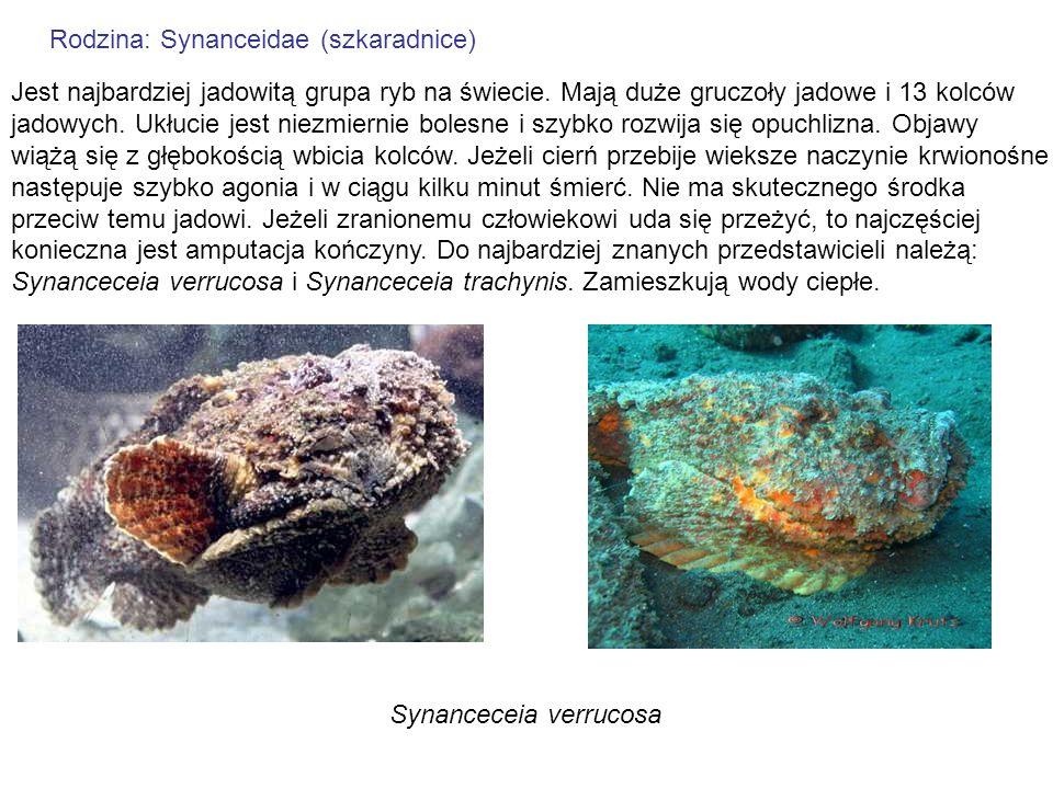 Rodzina: Synanceidae (szkaradnice) Jest najbardziej jadowitą grupa ryb na świecie. Mają duże gruczoły jadowe i 13 kolców jadowych. Ukłucie jest niezmi