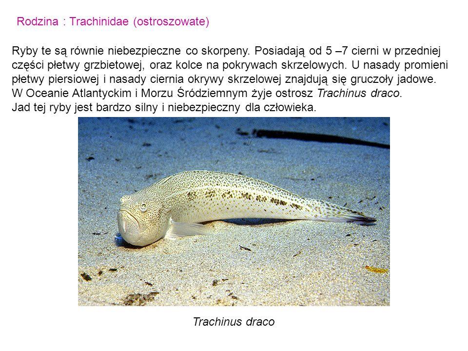 Rodzina : Trachinidae (ostroszowate) Ryby te są równie niebezpieczne co skorpeny. Posiadają od 5 –7 cierni w przedniej części płetwy grzbietowej, oraz