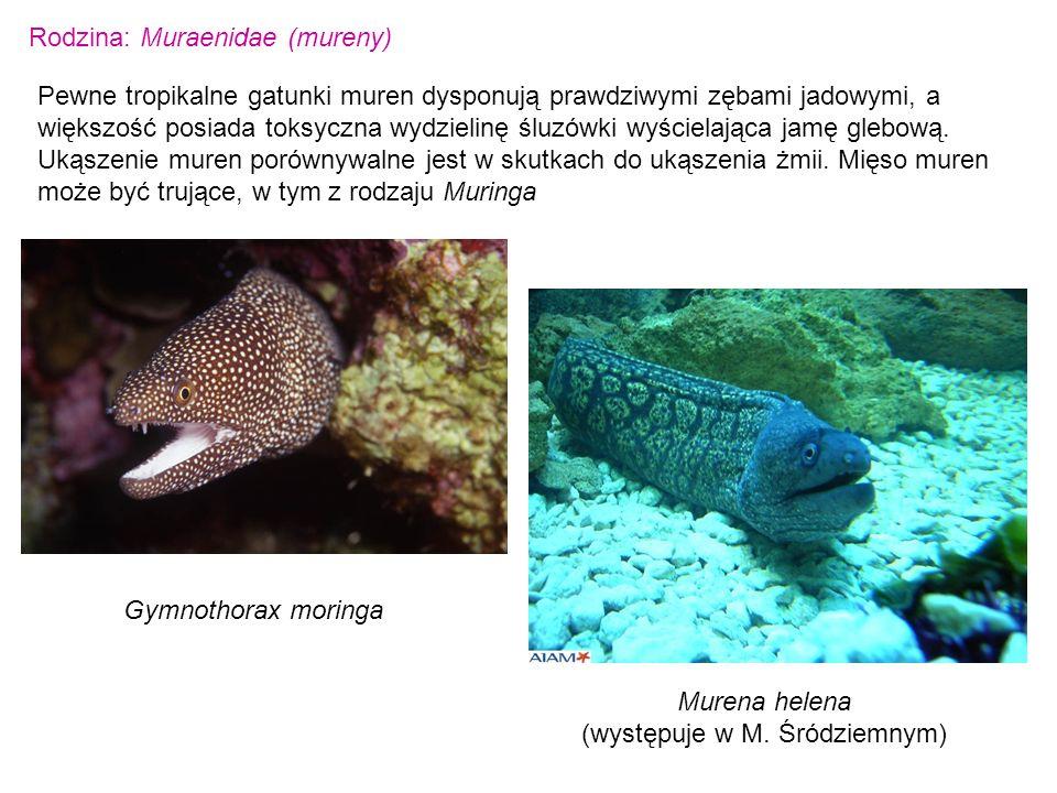 Rodzina: Muraenidae (mureny) Pewne tropikalne gatunki muren dysponują prawdziwymi zębami jadowymi, a większość posiada toksyczna wydzielinę śluzówki w