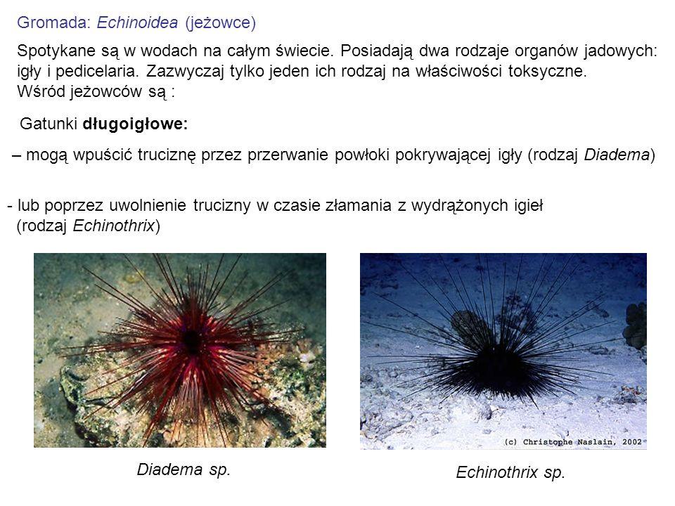 Gromada: Echinoidea (jeżowce) Spotykane są w wodach na całym świecie. Posiadają dwa rodzaje organów jadowych: igły i pedicelaria. Zazwyczaj tylko jede