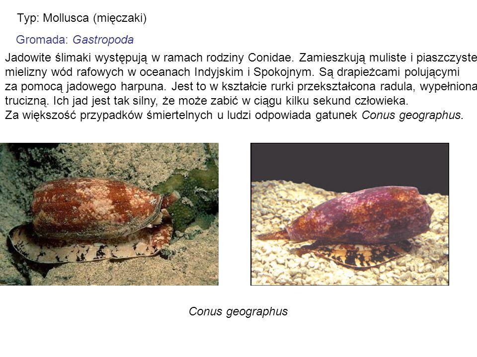 Typ: Mollusca (mięczaki) Gromada: Gastropoda Jadowite ślimaki występują w ramach rodziny Conidae. Zamieszkują muliste i piaszczyste mielizny wód rafow