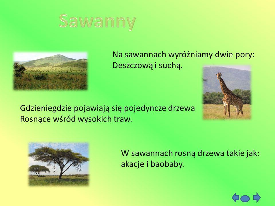 Na sawannach wyróżniamy dwie pory: Deszczową i suchą. Gdzieniegdzie pojawiają się pojedyncze drzewa Rosnące wśród wysokich traw. W sawannach rosną drz