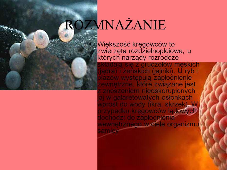 ROZMNAŻANIE Większość kręgowców to zwierzęta rozdzielnopłciowe, u których narządy rozrodcze składają się z gruczołów męskich (jądra) i żeńskich (jajni