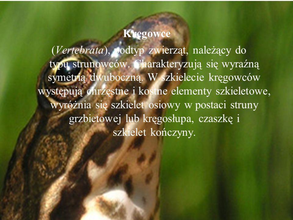 (Vertebrata), podtyp zwierząt, należący do typu strunowców. Charakteryzują się wyraźną symetrią dwuboczną. W szkielecie kręgowców występują chrzęstne
